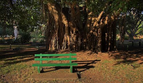 Bench Under Fig Tree
