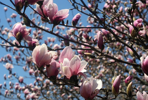 magnolia coming into bloom