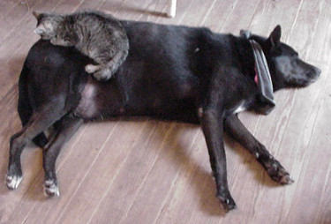 Cat sleeps on dog