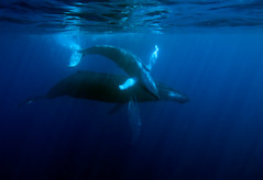 mothercalf6139pcw (gerb) Tags: blue topf25 beautiful topv111 1025fav 510fav wow topv555 topv333 underwater dominicanrepublic topv1111 topv999 fv5 pi 1224mmf4g topv777 whales d200 humpback topv3333 soe animalplanet zoology aquatica animalkingdomelite tvx silverbanks