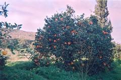 Oranger_Triffa_برتقال _تريفة