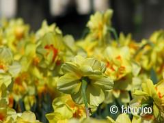 rebel narcissus (fabionico) Tags: park parco flower torino rebel fiore turin narciso narcissus doppio ribelle tesoriera fabionico