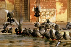 Pigeons of Wazir Khan (Max Loxton) Tags: pakistan water beautiful flying pigeons pakistani yani lahore yasirnisar towardspakistan pakistaniphotographers masjidwazirkhan pakistaniphotographer maxloxton pakistaniat wwwtowardspakistancom