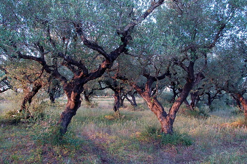 Morning Olive Grove