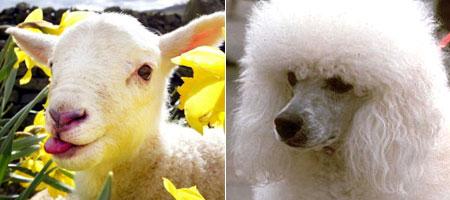 Lamb v.s. Poodle