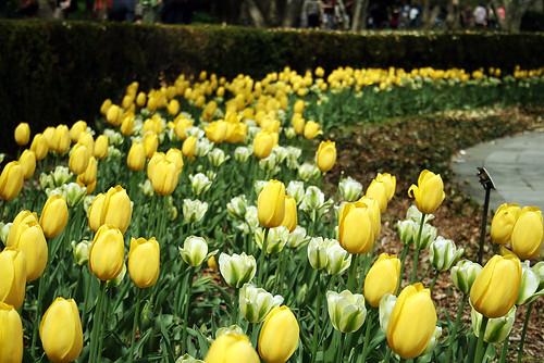 Yellow-White-Tulips