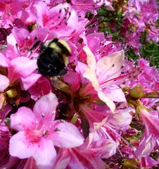 Bumblebee in Flowers (geekattack) Tags: pink black flower yellow spring bumblebee bloom azalea pollen