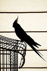 birdie (Vina the Great) Tags: bird monochrome lines silhouette contrast patterns cage cockatoo cacapartout