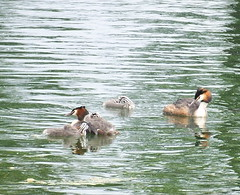 Great Crested Grebes and Chicks on Canada Water
