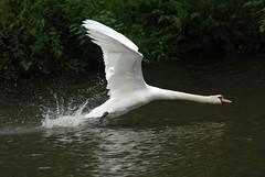 Takeoff (scuba_dooba) Tags: uk bird river swan flight waterfowl ouse takeoff 80400mm wildfowl naturesfinest mywinners colorphotoaward empyreananimals