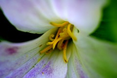 tentacles (dan [durango99]) Tags: flowers white flower macro green yellow garden trillium purple a100 abigfave