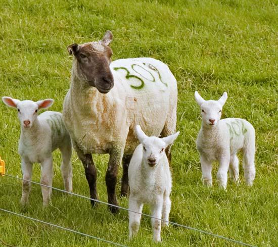 triplet sheep