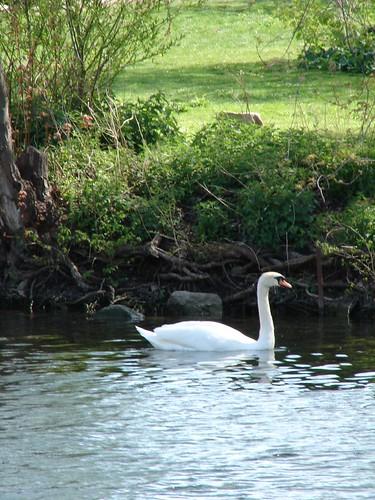 Swan lake II