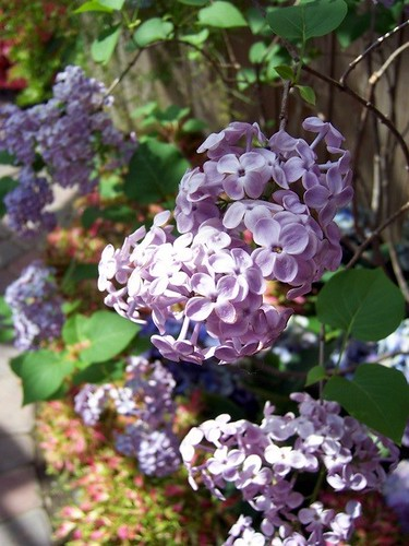 Sheltered Lilacs