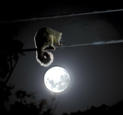 Possum and the Moon (alexkess) Tags: possum moon como home animal fence geotagged nikon wildlife sydney may australia plazes nsw myhouse d200 shire mystreet 5th neighbourhood hdr 2007 lightroom 050507 photomatix sutherlandshire flickrsbest 24hoursofflickr plazebfbf875c68fcfccd435dee2e05b905ba geo:long=15106362024086 geo:lat=34004141687769