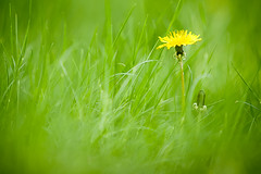 (Leviathor) Tags: dandelion taraxacum interestingness8 flickrsbest colorphotoaward top20green