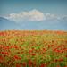 Red.Petals - by Chris (archi3d)
