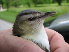 Close up vireo