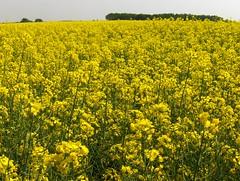 Colza! (Joe Shlabotnik) Tags: flowers france yellow rape canola 2007 rapeseed faved colza april2007