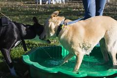 dogs australia canberra act 2007 rspca millionpawswalk stage88 rspcamillionpawswalk
