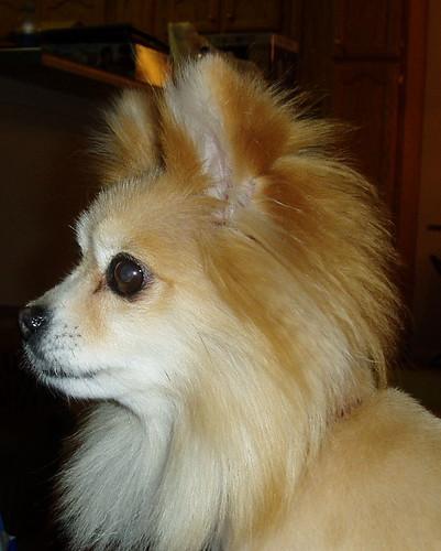 Pomeranian Haircuts