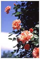 Rose 070520 #20