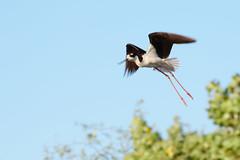 Airborn (shburk) Tags: arizona southwest bird nature animal outdoors desert outdoor wildlife canon20d flight canon70200f4l birdinflight gilbertaz maricopacounty riparianwaterpreserve