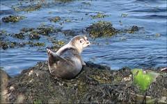 Baby Seal (Observe The Banana) Tags: ocean baby seaweed iceland rocks ring seal seals hindisvik