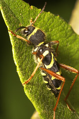 "Wasp Beetle (Clytus arietis) #2 • <a style=""font-size:0.8em;"" href=""http://www.flickr.com/photos/57024565@N00/513689385/"" target=""_blank"">View on Flickr</a>"