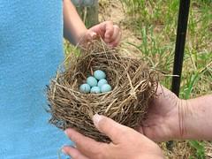 Kathi's bluebird eggs