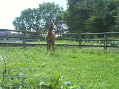DSC00122 (jacaranda4) Tags: horse cheval mare du concours colt stallion francais chevaux filly selle foal cso poulain dressage jument coty complet elevage royaltie