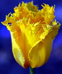 Yellow on blue... (maya_dragonfly) Tags: plant flower macro nature yellow garden flora nikon tulip yellowtulip gardenflower bulbplant flowerpictures spring07