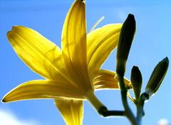 Lily of the Sun (Kirsten M Lentoft) Tags: sunlight flower macro yellow garden lily momse2600 kirstenmlentoft