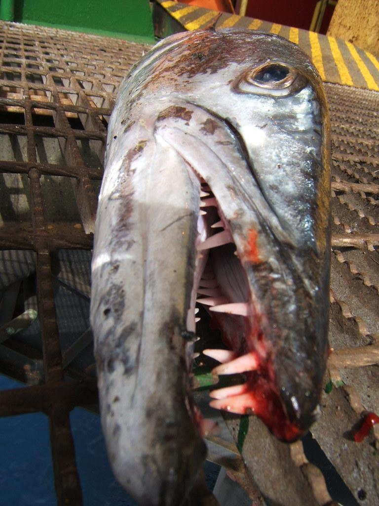 The Grin of Guinean Barracuda (Sphyraena afra)