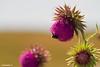 #Distel #Thistle #bumblebee #hommel #Texel #texels #macro #flowers #insect #waddeneiland #justin #sinner #photo #nature #natuur #canon #hors #wad #amazing #stunning #bloemen #needle #naald #holland #netherlands #beauty #northholland #steel #blad #prikkel (JustinSinner.nl) Tags: distel thisle bumblebee hommel texel texels macro flowers insect waddeneiland justin sinner photo nature natuur canon hors wad amazing stunning bloemen needle naald holland netherlands beauty northholland steel blad prikkel