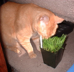Abby smelling cat grass
