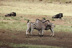 Zebra cuddle