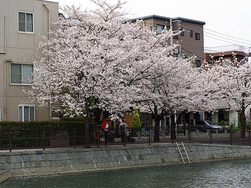 Sakura 2007 03