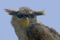 ♫ a view ö_ö  to a kill... and yoda owl rises again♫ - bubo sumatranus - wildlife from bali♫ (bocavermelha-l.b.) Tags: tufts southchinasea öö hibou itsong–invite 80200mmf28d wildlifephotography tc17eii inindonesia itsong–nikond200 tôôt wildlifesoutheastasia shootingwithd200 flickrdiamond inbatubulan onbali frhwofavs barredeagleowl bubosumatranus bubosumatrana malayeagleowl orientaleagleowl beaksandfeathers búhomalayo superstarowl hunterowl övö wildlifebali