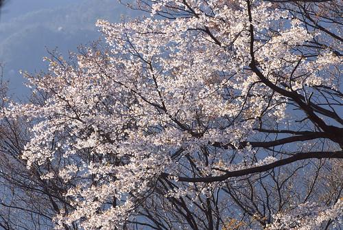 a wild cherry tree