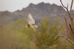 Owl in flight (wplynn) Tags: arizona bird flying desert raptor owl raptors secretlifeofbirds