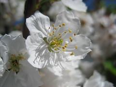 Macro flower (animusicsf) Tags: flower macro sd600 20070408