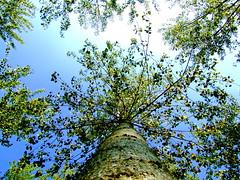 L'albero della carta (Gian Pietro ...) Tags: trees sky tree green fuji searchthebest finepix s9500 naturesfinest supershot abigfave