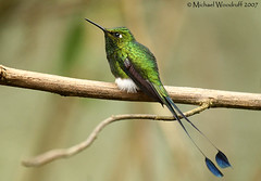 Booted Racket-tail (Michael Woodruff) Tags: bird southamerica birds canon ecuador hummingbird booted b