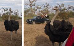Big Bird @ Bandia Reserve (tj.haslam) Tags: wild bird birds geotagged ostrich e300 senegal 50200mm birdwatching bandia senegambia struthiocamelus zd ec14 birdsofwestafrica birdsgs birdsgsnewspecies birdsgsadded nozooshots