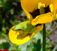 Kehelyben (citrit1) Tags: life flower nature animal ilovenature frog nominated naturesfinest best flowerscolors picture abigfave anawesomeshot colorphotoaward superbmasterpiece beyondexcellence citrit