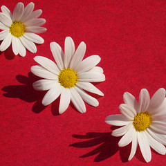 Daisy dolcissimo (cattycamehome) Tags: flowers red summer white flower macro sunshine yellow tag3 taggedout daisies square petals spring bravo pretty tag2 all colours tag1 bright sweet quote small  sunny fresh diagonal rights tiny daisy reserved gentle redandwhite dolcissimo catherineingram magicdonkey outstandingshots april2007 abigfave impressedbeauty cattycamehome allrightsreserved gertrudeswister