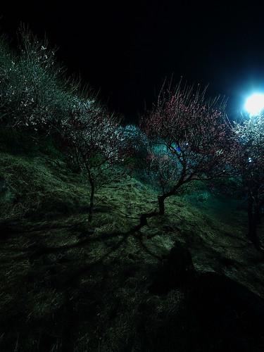 夜の梅 1