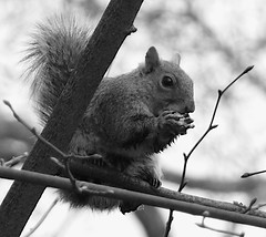 My friend the squirrel from Regent's Park (sbuliani) Tags: park white black london nature animal lumix squirrel regents stefano naturesfinest anawesomeshot lmaoanimalphotoaward buliani sapessi stefanobuliani