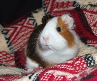 Pysio guinea pig
